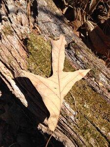 Quercus falcata - Milo Pyne