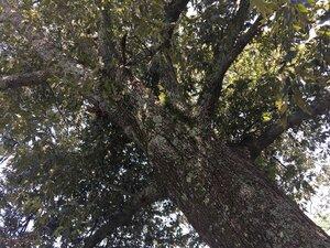 Quercus falcata - Sunny Fleming