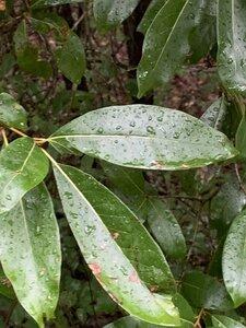 Quercus imbricaria - Dwayne Estes