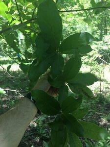 Quercus imbricaria - Joey Shaw