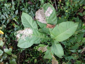 Quercus imbricaria - Milo Pyne