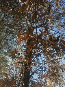 Quercus imbricaria - Tara Littlefield