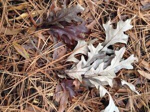 Quercus lyrata - Milo Pyne