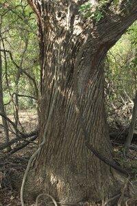 Quercus macrocarpa var. macrocarpa - Dwayne Estes