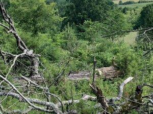 Quercus macrocarpa - Dwayne Estes