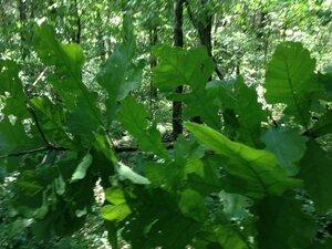 Quercus macrocarpa var. macrocarpa - Milo Pyne