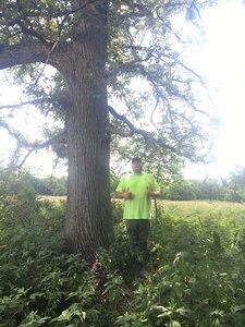 Quercus macrocarpa var. macrocarpa - Theo Witsell