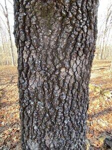 Quercus marilandica - Dwayne Estes
