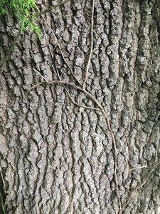 Quercus marilandica var. marilandica - Dwayne Estes