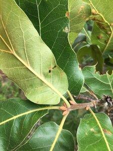 Quercus marilandica var. marilandica - Joey Shaw