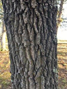 Quercus marilandica - Joey Shaw