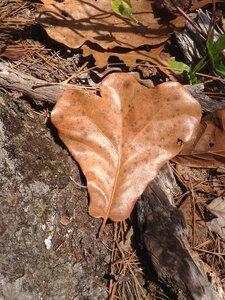 Quercus marilandica var. marilandica - Milo Pyne