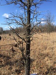 Quercus marilandica var. marilandica - Sunny Fleming