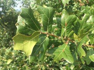 Quercus marilandica var. marilandica - Theo Witsell