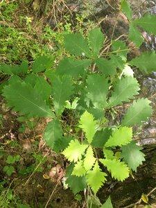 Quercus michauxii - Joey Shaw