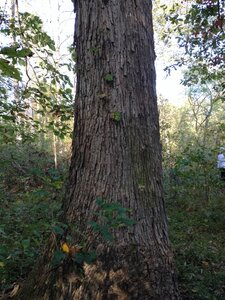 Quercus michauxii - Milo Pyne