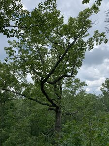 Quercus montana - Dwayne Estes