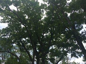 Quercus montana - Joey Shaw