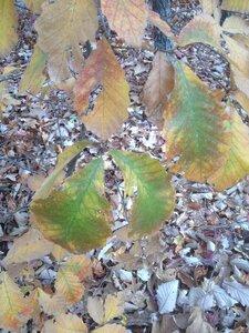 Quercus montana - Milo Pyne