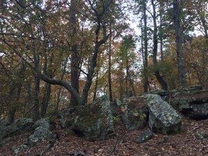 Quercus montana - Sunny Fleming