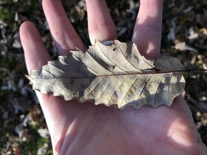 Quercus muehlenbergii - Dwayne Estes