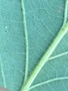 Quercus muehlenbergii - Joey Shaw