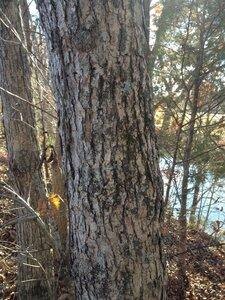 Quercus muehlenbergii - Milo Pyne