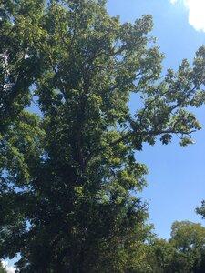 Quercus muehlenbergii - Sunny Fleming