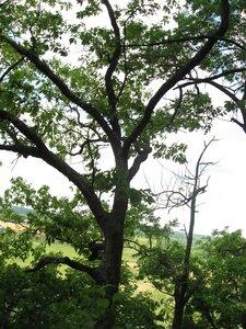 Quercus muehlenbergii - Tara Littlefield