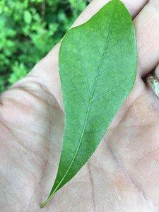 Quercus nigra - Joey Shaw