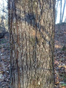 Quercus pagoda - Milo Pyne