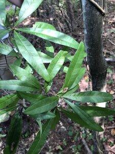Quercus phellos - Ashley B. Morris