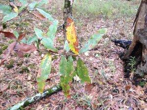 Quercus phellos - Milo Pyne