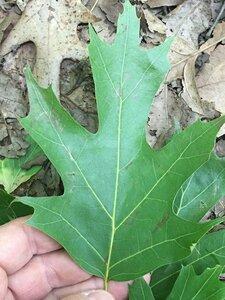 Quercus rubra - Joey Shaw
