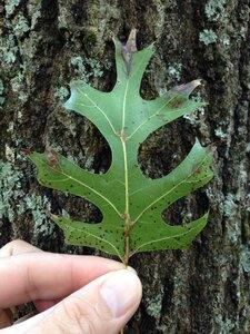 Quercus shumardii - Dwayne Estes