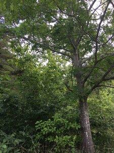 Quercus shumardii - Joey Shaw