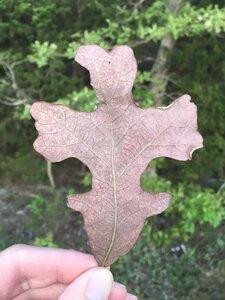 Quercus stellata - Dwayne Estes