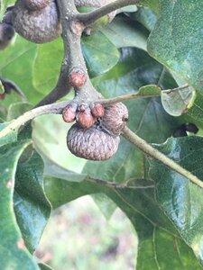 Quercus stellata - Joey Shaw