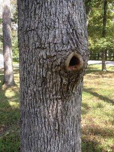 Quercus stellata - Milo Pyne