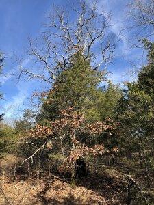 Quercus stellata - Sunny Fleming