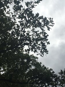 Quercus stellata - Tara Littlefield