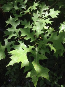Quercus texana - Milo Pyne