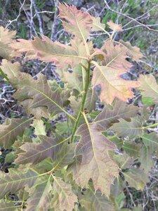 Quercus velutina - Dwayne Estes