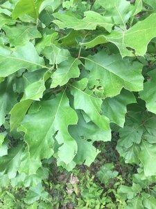Quercus velutina - Joey Shaw