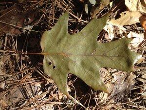 Quercus velutina - Milo Pyne