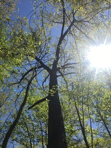 Quercus velutina - Tara Littlefield