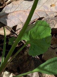 Ranunculus abortivus - Dwayne Estes