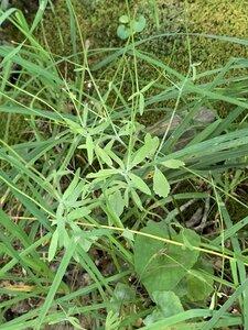 Ranunculus allegheniensis - Dwayne Estes