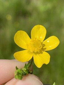 Ranunculus bulbosus - Dwayne Estes