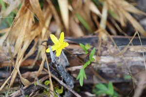 Ranunculus fascicularis - Ashley B. Morris